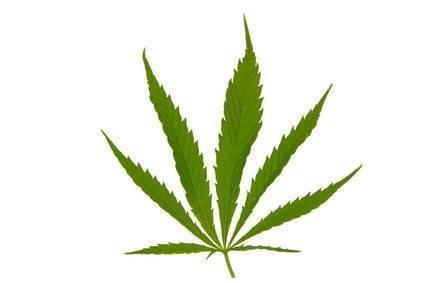 Cannabis Sativa Erscheinungsbild