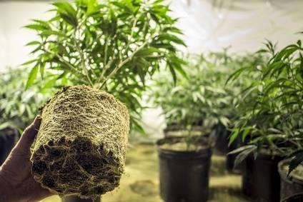 Hanf pflanzen tipps und fehler beim anbau hanfsamenladen - Hanf zimmerpflanze ...