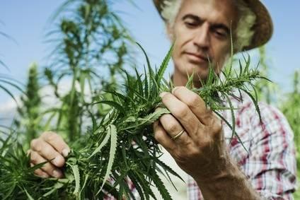 Cannabis Sativa Hanfsamen