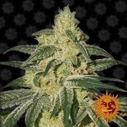 Afghan Hash Plant - 5 Samen