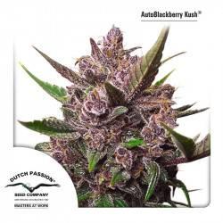 AutoBlackberry Kush Feminisiert - 3 Samen