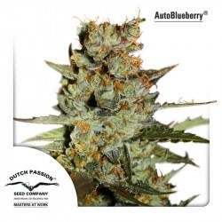 AutoBlueberry Feminisiert - 3 Samen