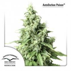 AutoDurban Poison Feminisiert - 3 Samen