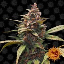 Ayahuasca Purple Feminisiert - 5 Samen