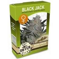 Black Jack Feminisiert - 10 Samen