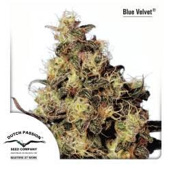 Blue Velvet Feminisiert - 5 Samen