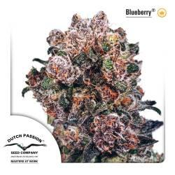 Blueberry Feminisiert - 3 Samen