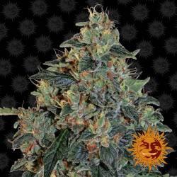 Blueberry OG Feminisiert - 5 Samen