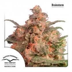 Brainstorm Feminisiert - 5 Samen