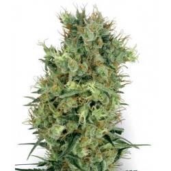 Cali Orange Bud - 10 Samen