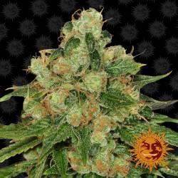 CBD Caramel - 10 Samen