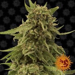 CBD Critical Cure Feminisiert - 5 Samen