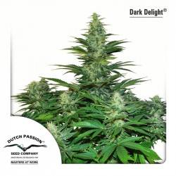 Dark Delight Feminisiert - 5 Samen