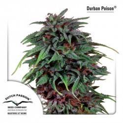 Durban Poison Feminisiert - 10 Samen