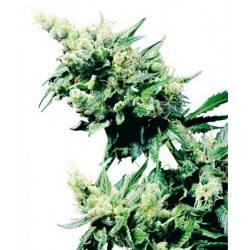 Hash Plant - 10 Samen