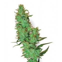 Jack Herer White Label - 10 Samen