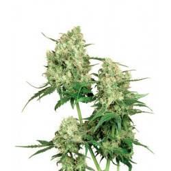 Maple Leaf Indica - 10 Samen