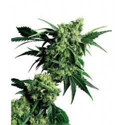 Mr Nice G13 X Hash Plant - 10 Samen