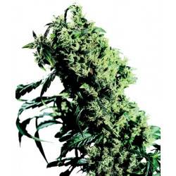 Northern Lights #5 X Haze Feminisiert - 10 Samen