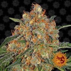 Orange Sherbert Feminisiert - 5 Samen