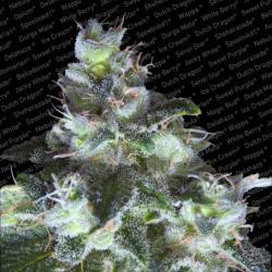 Original White Widow Feminisiert (IBL) - 10 Samen