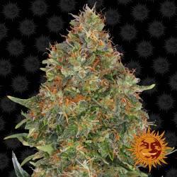 Pineapple Express feminisiert - 5 Samen