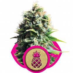 Pineapple Kush Feminisiert - 10 Samen