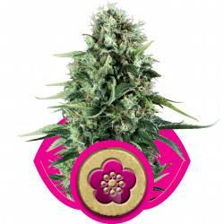 Power Flower Feminisiert - 5 Samen