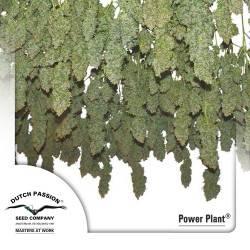 Power Plant Feminisiert - 3 Samen
