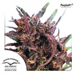 Purple #1 Feminisiert - 3 Samen