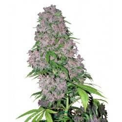 Purple Bud Feminisiert - 5 Samen