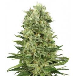 Skunk #1 Automatic - White Label - 10 Samen
