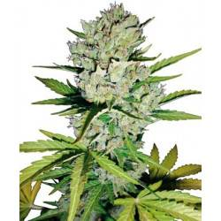 Super Skunk Automatic - White Label - 10 Samen