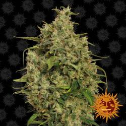 Sweet Tooth Feminisiert - 5 Samen