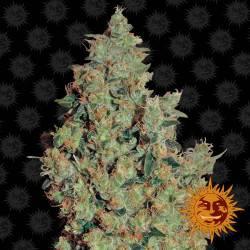 Tangerine Dream Feminisiert - 5 Samen