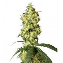 White Widow Automatic - 10 Samen