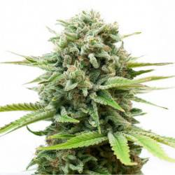 White Widow Automatic - 5 Samen